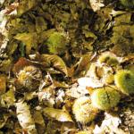 R3 – Grès d'Annot – La forêt de châtaigniers